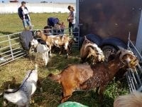 På besøg til åbent landbrug